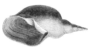 Natural_History_-_Mollusca_-_Lake_mud_shell